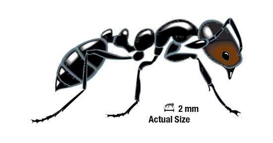 The Six Species Of Ants You Need To Know Syngenta Ppm