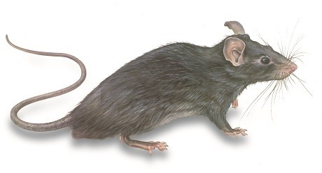 RATRAT illustration of a house rat