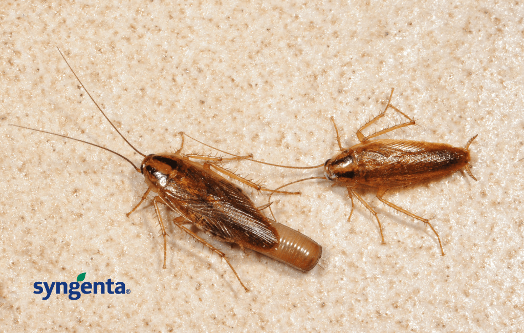 German Cockroach carrying an ootheca (egg case)